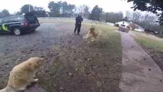 1 Year-Old Golden Retriever Winston: 2-Week UberDog Training QuickStart Student