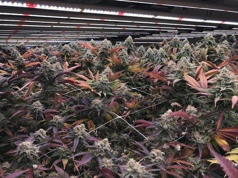 Alaska-Grown Cannabis Under Fluence LEDs