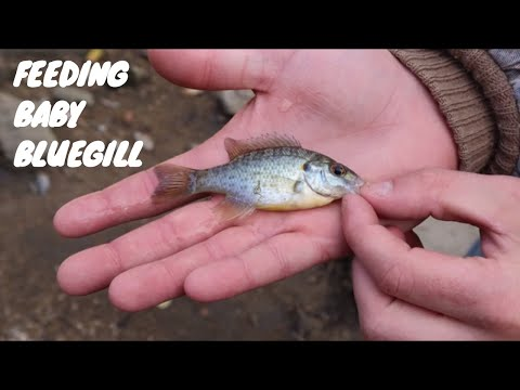 Feeding Baby Bluegill And Stocking Up The Fish Tank