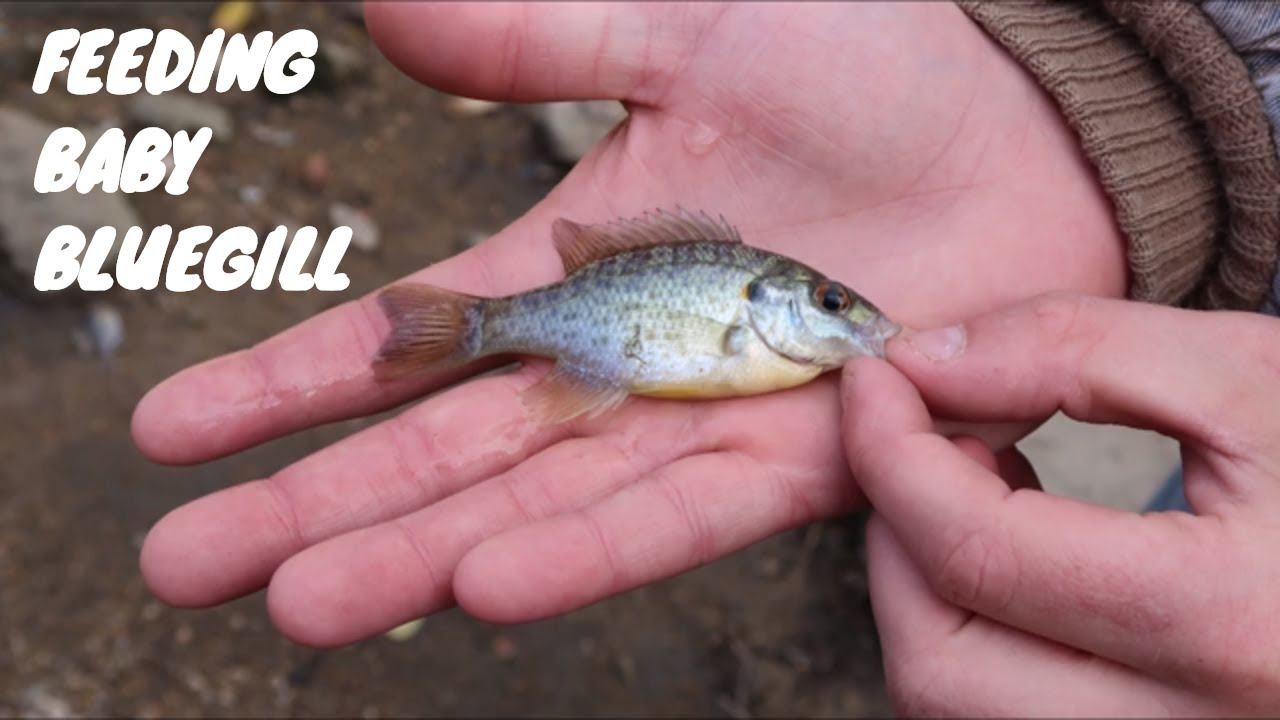 Feeding baby bluegill and stocking up the fish tank youtube for Bluegill fish tank