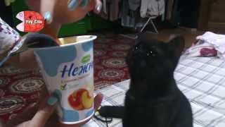 Черный кот обожает йогурт)
