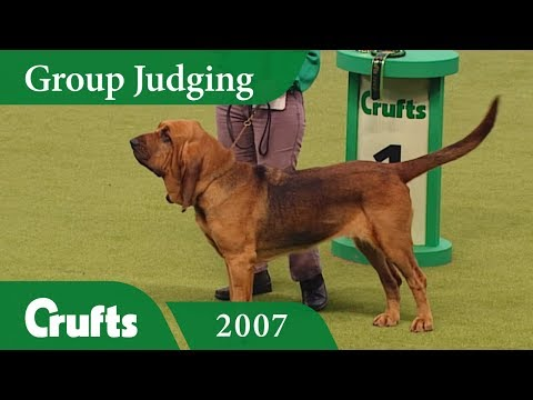 Bloodhound wins Hound Group Judging at Crufts 2007