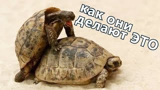 Страстные самцы сухопутных черепах или Почему стоит завести черепашку?
