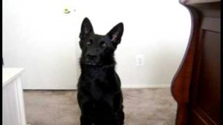 German Shepherd Uses Quiet Voice
