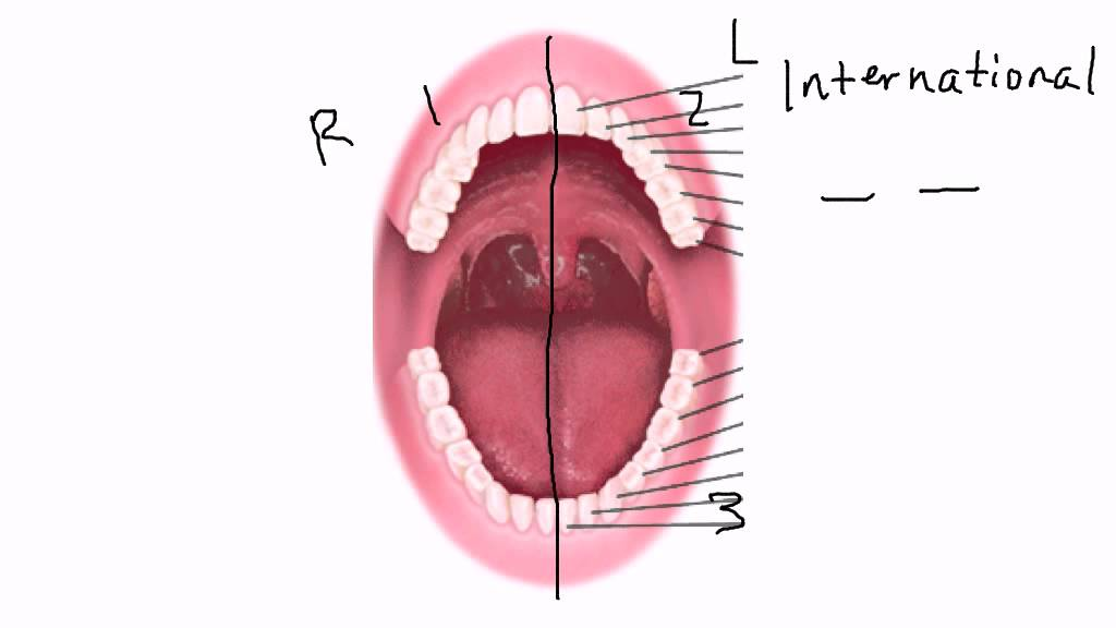 Tooth numbering tutorial youtube tooth numbering tutorial ccuart Choice Image