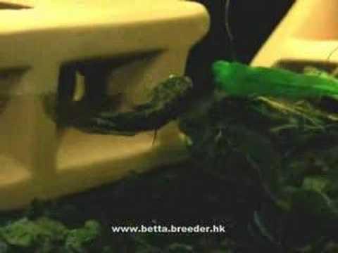 Betta dimidiata spawning