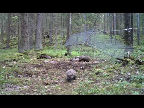 Five raccoon dog puppies