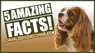 5 Amazing Facts About The CAVALIER KING CHARLES SPANIEL