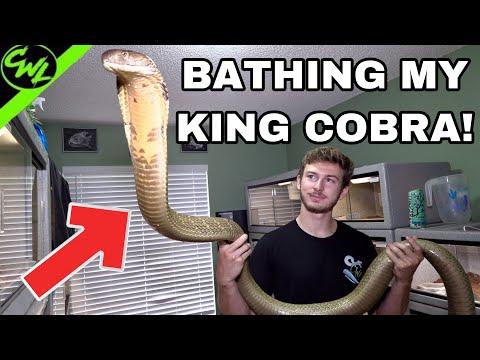 BATHING MY KING COBRA & RATTLESNAKES!!!