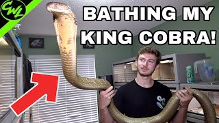 BATHING MY KING COBRA & RATTLESNAKES!!!