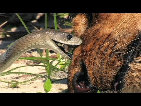 Thumbnail: Black Mamba vs Dead Lion 05 - Snake Attacks Lion