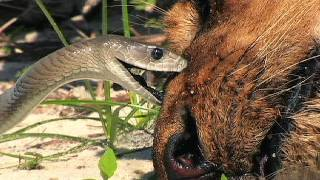 Black Mamba vs Dead Lion 05 - Deadly Snake Attacks Lion