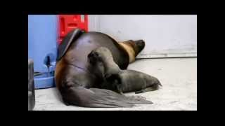 Steller sea lion, Eden, gives birth to pup at Alaska SeaLife Center