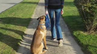 CT Dog Trainers: Argos 7 month old Belgian Malinois with Amazing Obedience