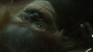 Baby orangutan Java unveiled at Paris zoo