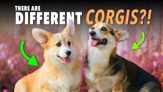 Want a Corgi? Watch This First! | Ultimate Pet Nutrition