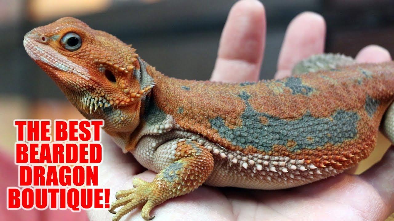 Purple Blue Bearded Dragons For Sale - Purple Bearded Dragon