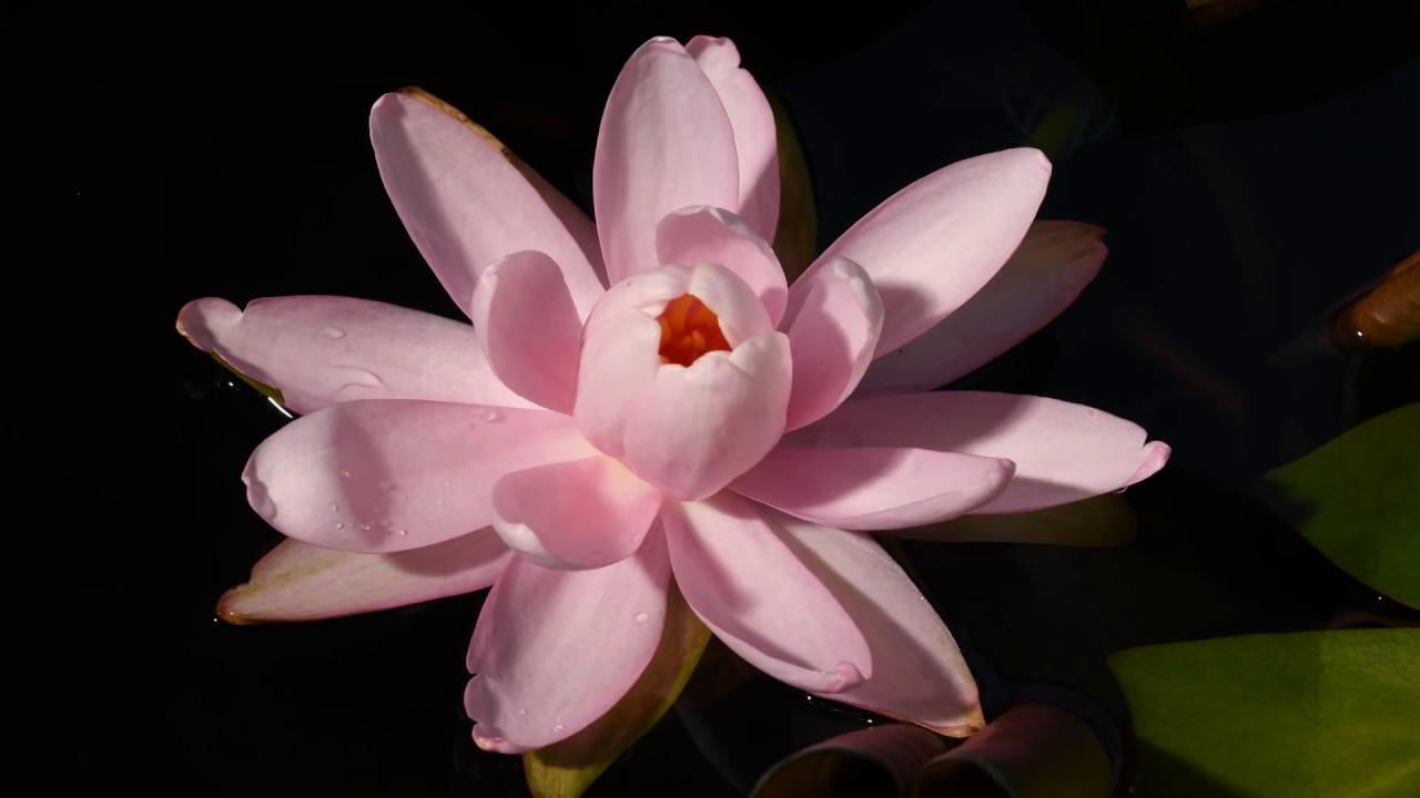 Water lily flower opening time lapse youtube water lily flower opening time lapse izmirmasajfo