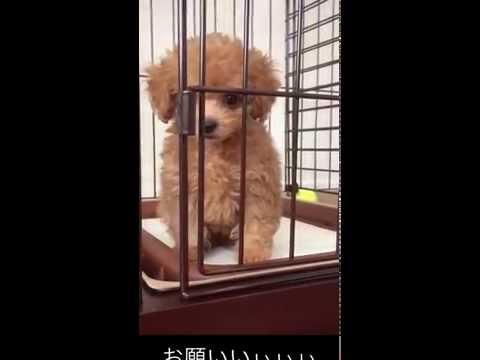 ティーカッププードル(teacup poodle)激おこプンプン!生後73日