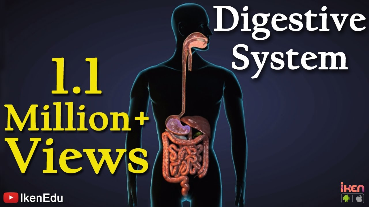 Digestive system youtube ccuart Gallery