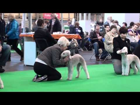 Crufts 2012 - Bedlington Terrier. Part 4