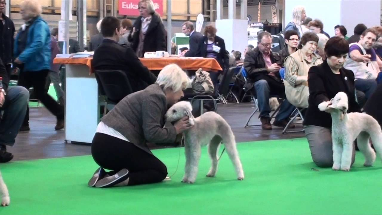 Bedlington Terrier Crufts 2013 Crufts 2012 - B...