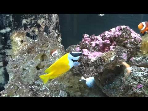 Foxface Rabbitfish In The Display