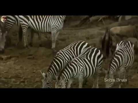 Assassinos da África Crocodilos   Documentário Dublado HD