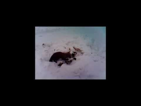 Fisher Cat At Frost Pond Camps