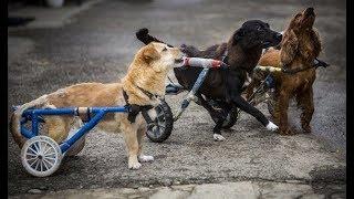 保護されたハンディキャップのある犬達。 車いすをプレゼントされ再び自...