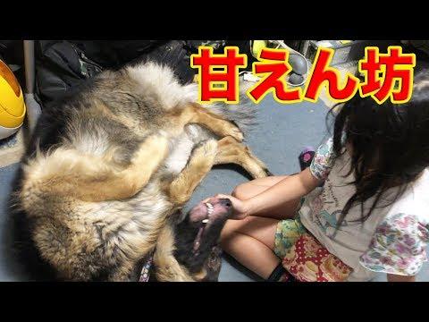 くねくね孫娘に甘えるシェパード犬マック君 Dog playing with granddaughter