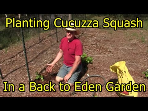 Growing Harvesting Cucuzza Squash Doovi