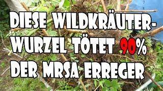 Diese Deutsche Wildkräuterwurzel tötet 90% der MRSA Erreger