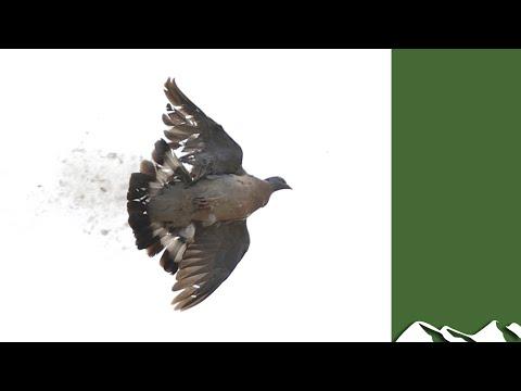 England Bans Pigeon And Crow Shooting