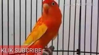 Video LOVEBIRD TERMAHAL BERSEJARAH download MP3, 3GP, MP4, WEBM, AVI, FLV Juni 2018
