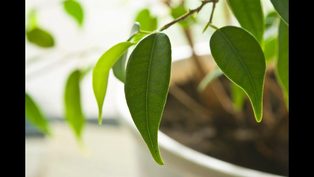 Почему у ФИКУСА желтеют и опадают листья. Проблемы с фикусом бенджамина и их решение
