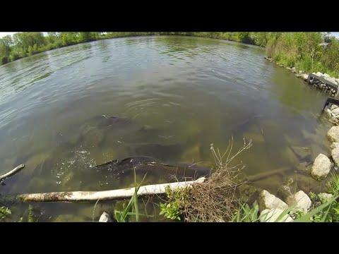 Lots of Spawning Carp - Lake Ontario