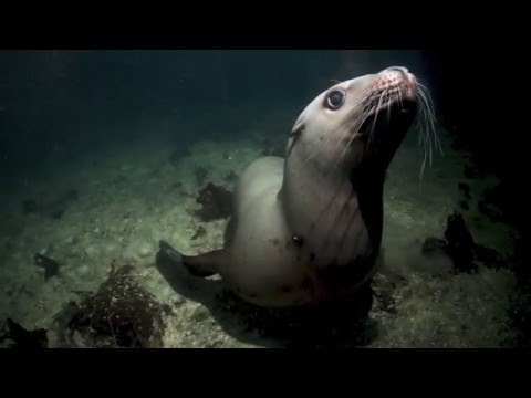 Steller Sea Lion Visitation, Port Hardy BC January 2016