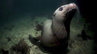 Steller Sea Lion Visitation, Port Hardy BC January 2016