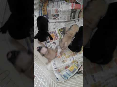 Pug puppies available in Delhi
