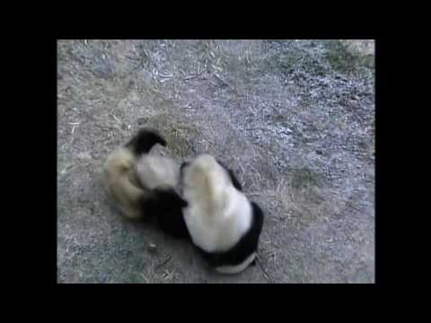 Mei Xiang and Tian Tian's Love ❤