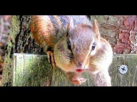 Chipmunk caught red-handed....kinda