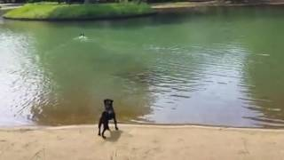 Boston runs after a flying stick and jumps into the pond.
