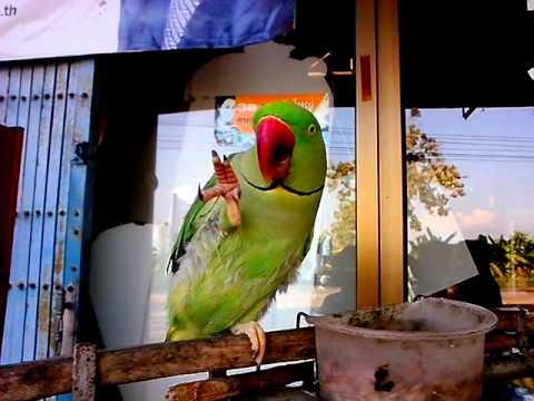 นกแก้วพูดได้