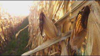 La semaine verte | Corridors solaires dans les champs de maïs