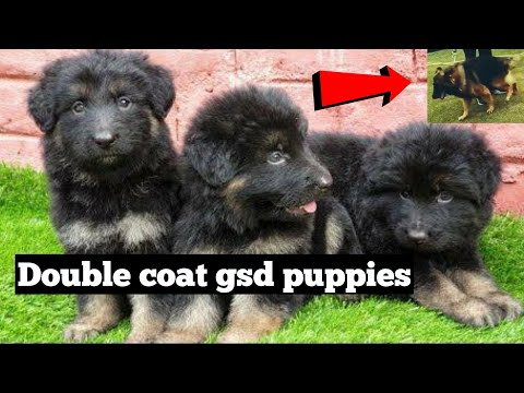 Double coat German shepherd puppies available in affordable price