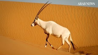 How the Arabian oryx was brought back from extinction in the wild
