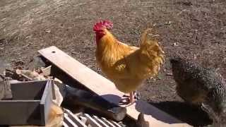 """free Pallet"" Hen House Spring Update And Chickens On The Run"