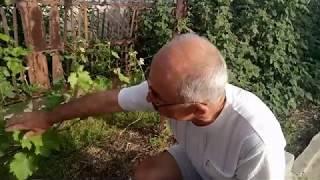 Удаление лишних соцветий на молодых кустах     нормирование сигнального урожая