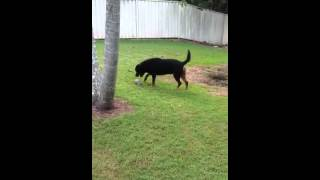 Catching Ronnie The Rottweiler Rotti By His Tail